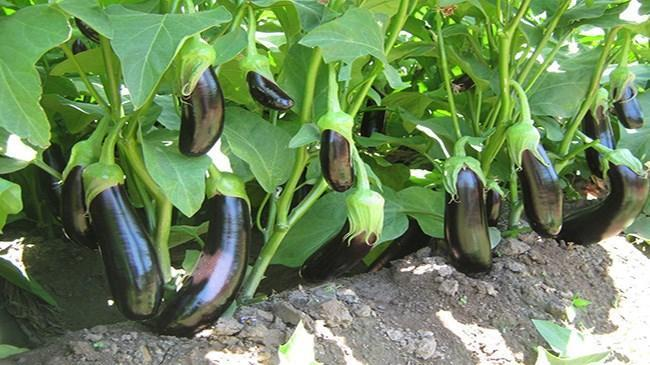 Fiyatı en fazla artan ürün patlıcan oldu   Ekonomi Haberleri