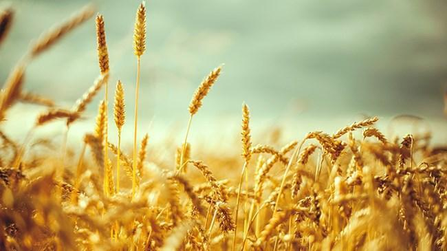 Buğdayda alım fiyatı açıklandı | Ekonomi Haberleri