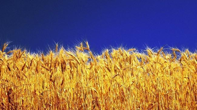 Buğday bu yıl erken olgunlaştı | Sektör Haberleri
