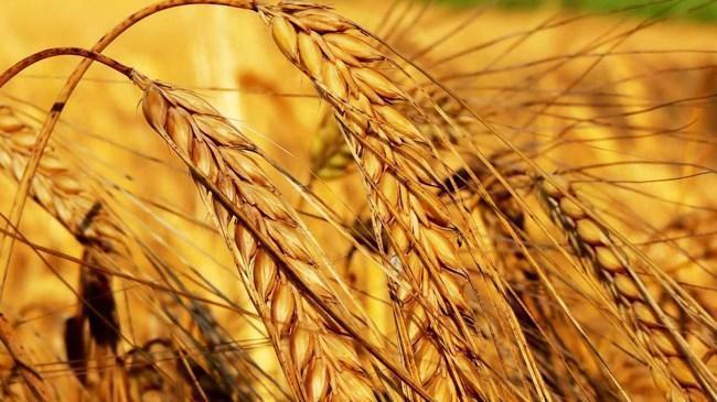 1,4 milyar liralık buğday israf ediliyor | Sektör Haberleri