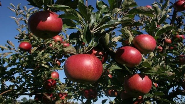 Batı Akdeniz'in elma ihracatı yüzde 784 arttı  | Sektör Haberleri