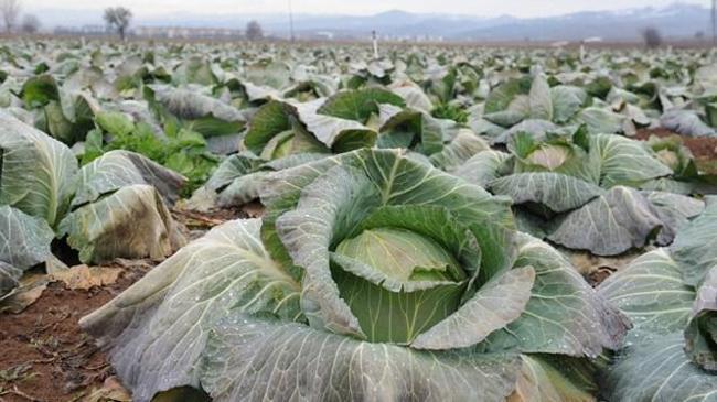Lahana çiftçinin yüzünü güldürdü | Sektör Haberleri