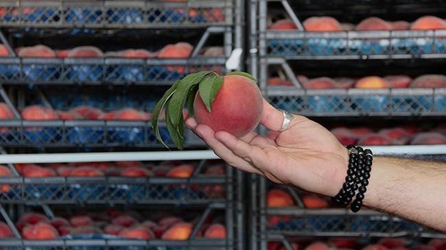 Rusya'ya şeftali ihracatında hedef 50 milyon dolar | Sektör Haberleri