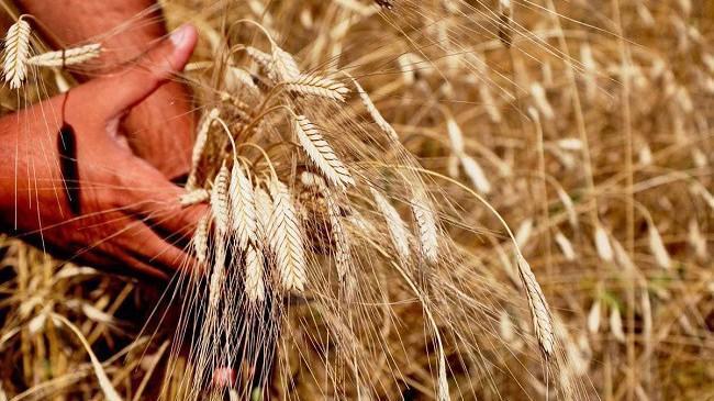 Siyez buğdayında rekolte yüz güldürdü | Sektör Haberleri