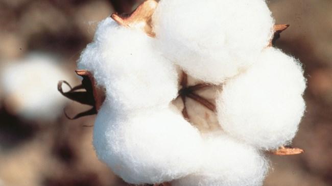 Antalya'da 50 bin dönümde pamuk ekimine başlandı   Sektör Haberleri