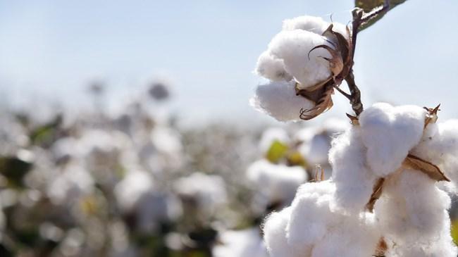 Pamuk alım fiyatları üreticiyi sevindirdi  | Sektör Haberleri