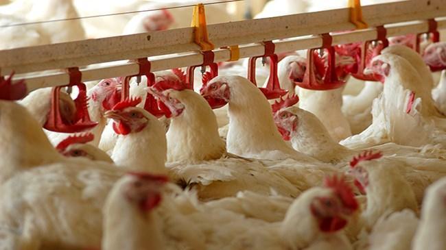 Tavuk eti ve yumurta üretimi arttı | Sektör Haberleri